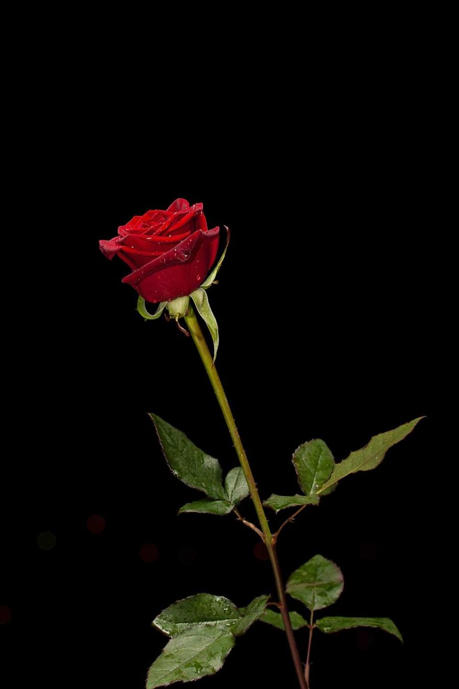 Rose-rosse-gambo-lungo